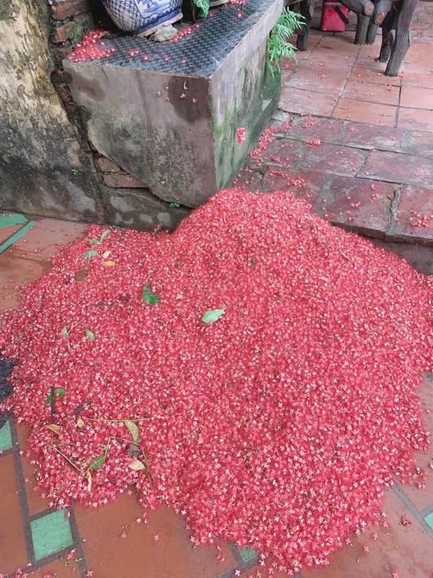 Cây lộc vừng sau một đêm ra hoa phủ kín sân đỏ rực: Dân tình trầm trồ trước cảnh tượng ảo diệu, gia chủ lại buồn muốn khóc vì một lý do - Ảnh 3.