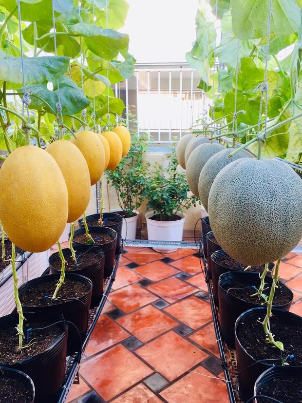 Cô gái phù phép sân thượng thành vườn dưa sai trĩu quả, quả nào quả nấy múp míp thấy mê - Ảnh 7.
