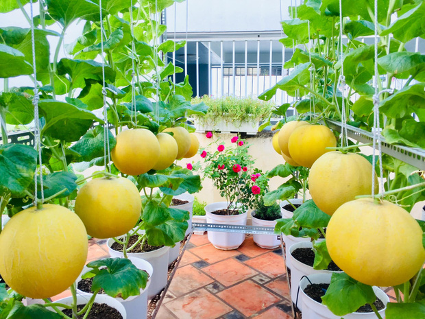 Cô gái phù phép sân thượng thành vườn dưa sai trĩu quả, quả nào quả nấy múp míp thấy mê - Ảnh 2.