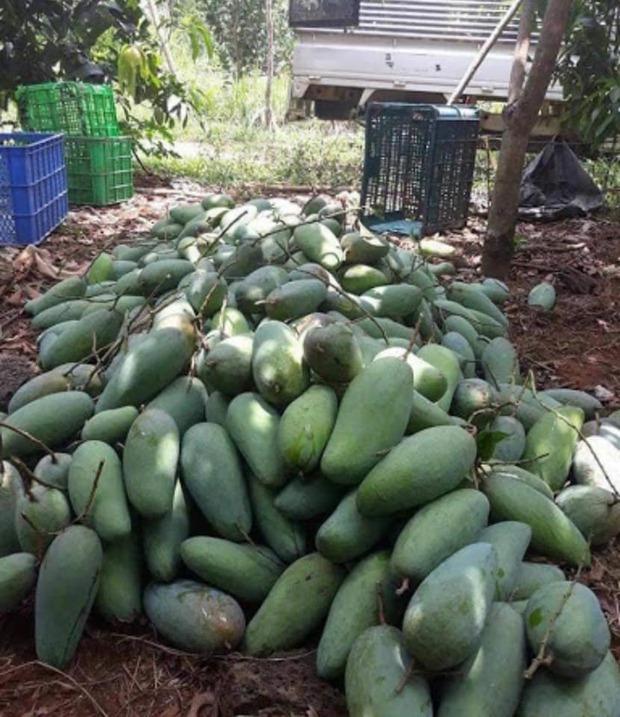 Nông sản rớt giá, nông dân miền Tây khóc thét vì giá xoài, mít chỉ còn 2.000 - 3.000 đồng/kg - Ảnh 1.