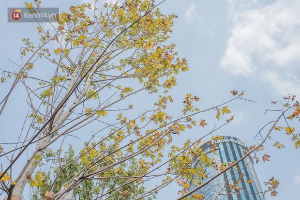 Hà Nội: Hàng phong lá đỏ được di dời trong đêm, nhường chỗ cho cây bàng lá nhỏ trong thời gian tới - Ảnh 1.