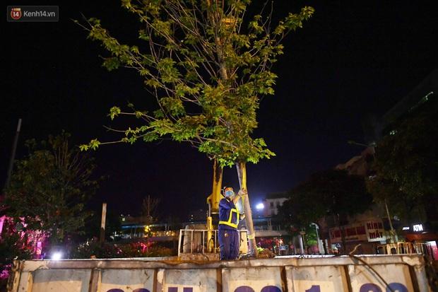 Ảnh: Di dời hàng cây phong lá đỏ trên 2 tuyến phố Hà Nội ngay trong đêm - Ảnh 9.
