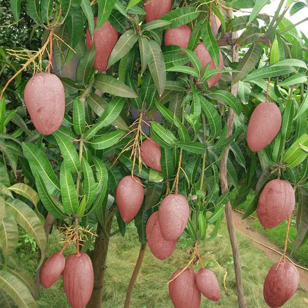 Lần đầu thấy trái xoài màu hồng có ngoại hình béo núc ních ở Việt Nam, thanh niên lên mạng hỏi giống gì thì bị doạ đến xanh mặt - Ảnh 6.