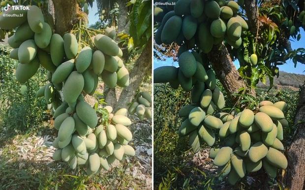 Những cây xoài ra hoa kết trái khó đỡ nhất Việt Nam, nhiều phen gia chủ khóc ròng vì tình thế tiến thoái lưỡng nan - Ảnh 2.