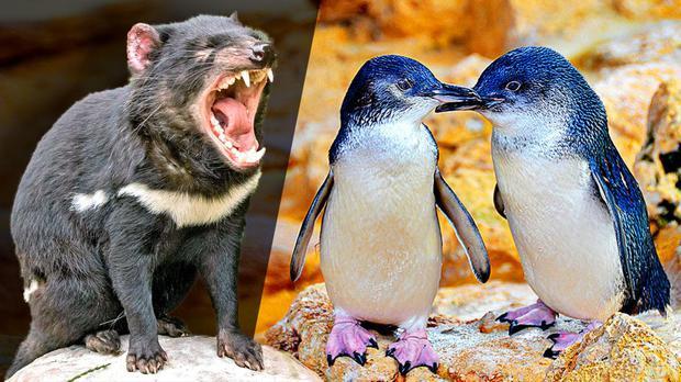 Hơn 6000 con chim cánh cụt bị quét sạch tại một hòn đảo vì sự xuất hiện của một con quỷ - Ảnh 3.