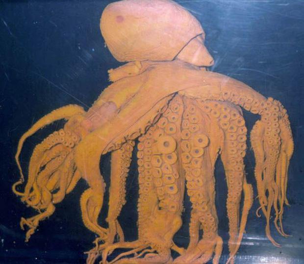 Bắt được con bạch tuộc bước ra từ phim kinh dị với 32 xúc tu, gấp 4 lần đồng loại thông thường - Ảnh 3.