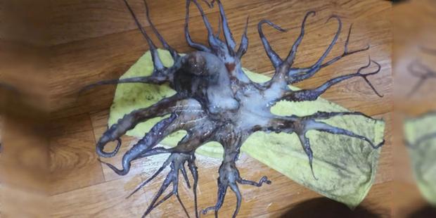 Bắt được con bạch tuộc bước ra từ phim kinh dị với 32 xúc tu, gấp 4 lần đồng loại thông thường - Ảnh 1.
