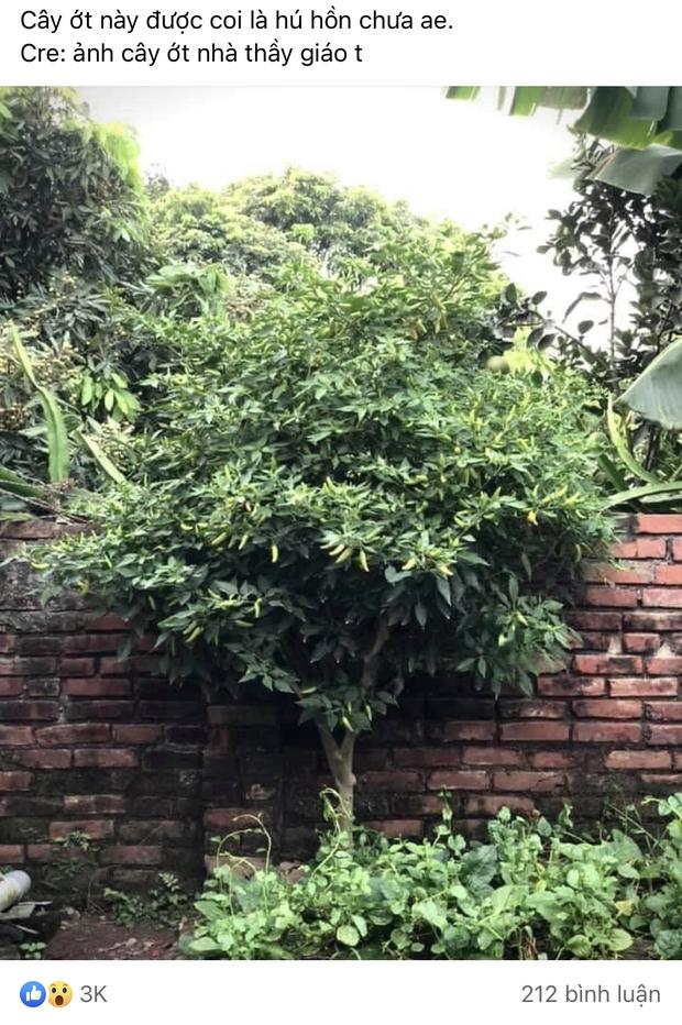 Cô gái khoe cây ớt đại thụ thuộc hàng to lớn nhất Việt Nam, các đại gia online đua nhau vào trả giá cả tỷ vì quá mê - Ảnh 1.