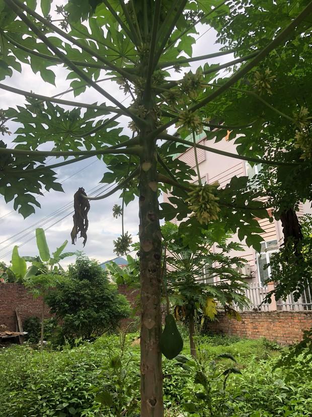 Trồng cây đu đủ cả năm chưa cho trái nhưng nay bỗng đậu được 1 quả, thấy lạ nên cô gái đăng hỏi một câu khiến ai cũng cười lăn - Ảnh 1.