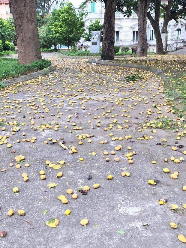 Cây xoài bí ẩn nhất Việt Nam: Quả chín rụng đầy gốc mà chẳng ai thèm nhặt, hoá ra mọc trong sân ngôi trường nổi tiếng này - Ảnh 2.