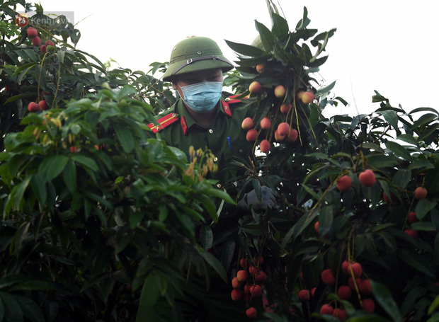 Ảnh: Công an huyện Lục Ngạn, Bắc Giang chung tay thu hoạch vải cùng bà con ngay từ đầu vụ - Ảnh 1.