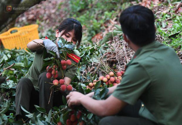 Ảnh: Công an huyện Lục Ngạn, Bắc Giang chung tay thu hoạch vải cùng bà con ngay từ đầu vụ - Ảnh 12.