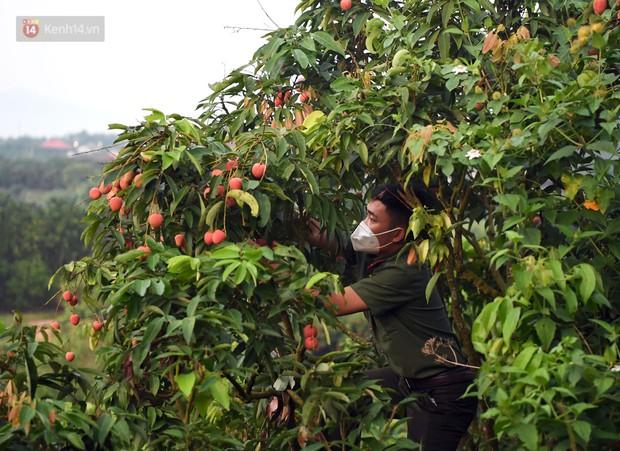 Ảnh: Công an huyện Lục Ngạn, Bắc Giang chung tay thu hoạch vải cùng bà con ngay từ đầu vụ - Ảnh 3.