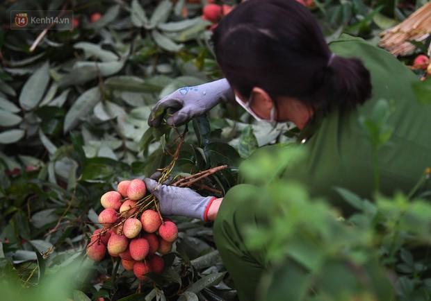 Ảnh: Công an huyện Lục Ngạn, Bắc Giang chung tay thu hoạch vải cùng bà con ngay từ đầu vụ - Ảnh 5.