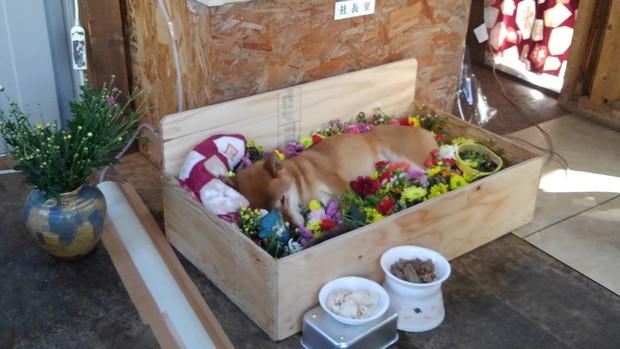 Chú chó Shiba bán khoai lang nướng từng gây bão MXH thế giới đã qua đời - Ảnh 4.