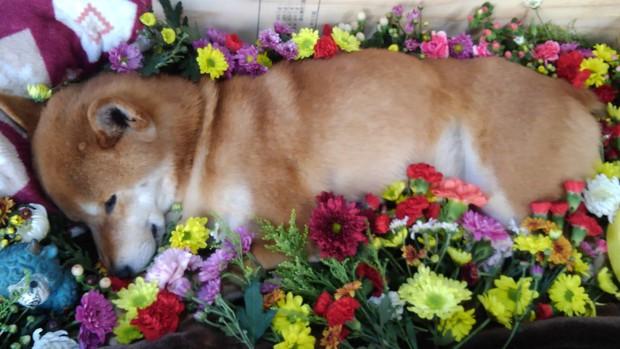 Chú chó Shiba bán khoai lang nướng từng gây bão MXH thế giới đã qua đời - Ảnh 5.