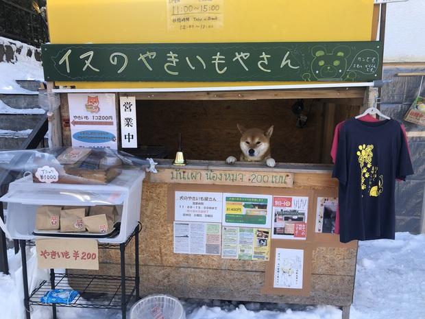 Chú chó Shiba bán khoai lang nướng từng gây bão MXH thế giới đã qua đời - Ảnh 1.