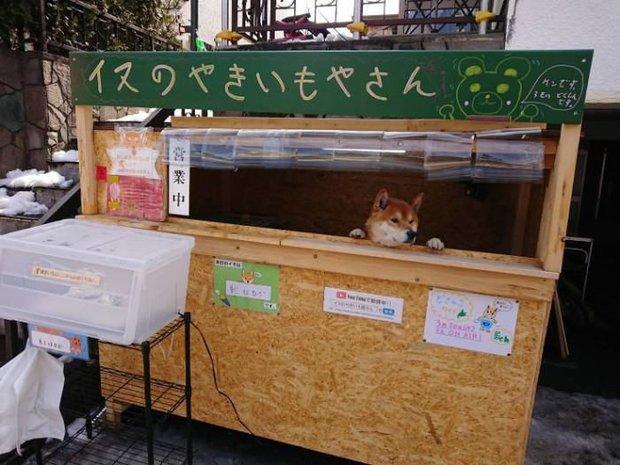 Chú chó Shiba bán khoai lang nướng từng gây bão MXH thế giới đã qua đời - Ảnh 2.