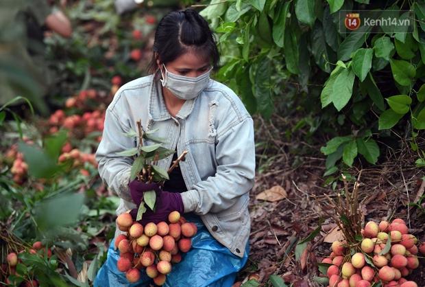 Vải thiều Lục Ngạn, Bắc Giang nhộn nhịp thu hoạch và tiêu thụ ngay từ đầu vụ - Ảnh 2.