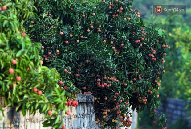 Vải thiều Lục Ngạn, Bắc Giang nhộn nhịp thu hoạch và tiêu thụ ngay từ đầu vụ - Ảnh 1.