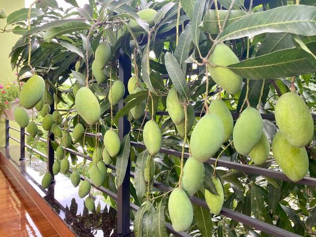 Cô hàng xóm may mắn nhất Việt Nam: Không trồng xoài nhưng vẫn có quả dâng tận miệng, mọc bên nhà mình thì là của mình rồi! - Ảnh 2.