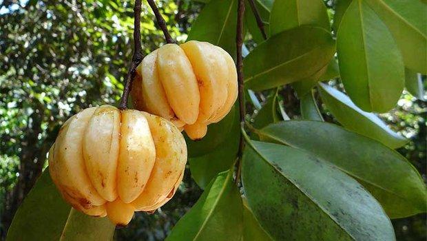 Một loại quả gia vị quen thuộc của Việt Nam nhưng nhiều người không hề biết, lại còn tưởng nhầm là quả ổi - Ảnh 3.