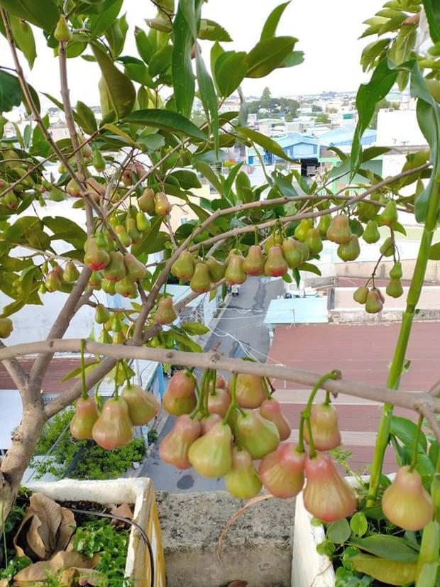 Sân thượng bé tẹo nhưng cô nàng vẫn biến được thành vườn cây trái có cả ổi, đu đủ, hồng xiêm, xoài..., ai nhìn cũng mê mẩn - Ảnh 1.