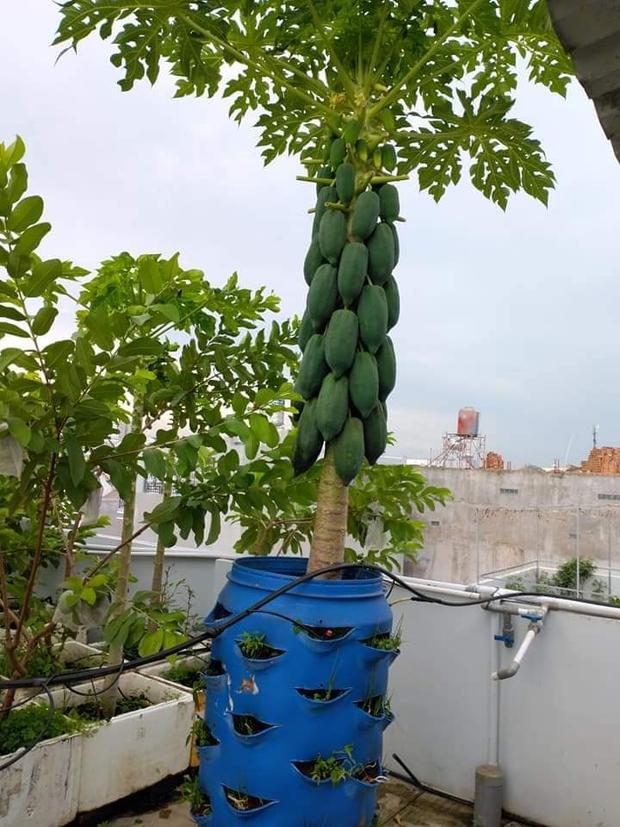 Sân thượng bé tẹo nhưng cô nàng vẫn biến được thành vườn cây trái có cả ổi, đu đủ, hồng xiêm, xoài..., ai nhìn cũng mê mẩn - Ảnh 2.