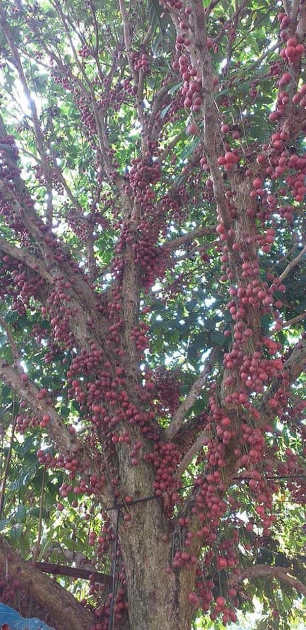 Cô gái khoe loại quả mọc kín mít từ gốc lên thân cây khiến dân mạng ngỡ ngàng, ngơ ngác rồi… bật ngửa vì sợ! - Ảnh 6.