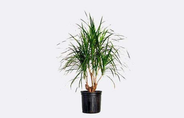 7 loại cây cảnh dù bỏ bê vẫn tươi tốt: Loại hấp thụ chất độc, loại mang may mắn cho gia chủ - Ảnh 7.