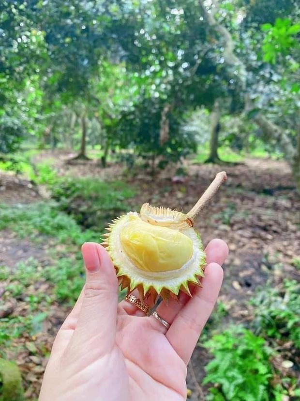 Trái sầu riêng tí hon nhất Việt Nam: Kích thước chỉ bằng một quả chôm chôm, xẻ ra bên trong đảm bảo ai cũng té ngửa - Ảnh 3.