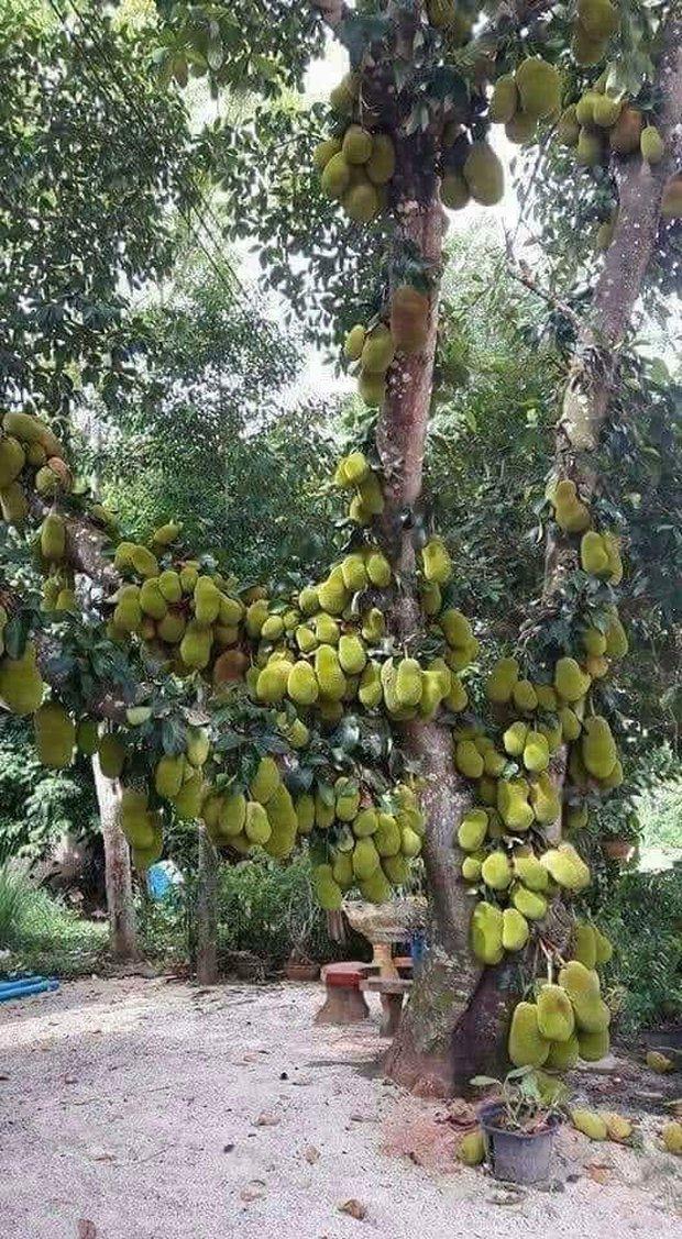 Sửng sốt trước cây mít cổ thụ cho nhiều quả bậc nhất Việt Nam, gia chủ nào trồng được chắc phải khóc thét vì lý do này - Ảnh 2.