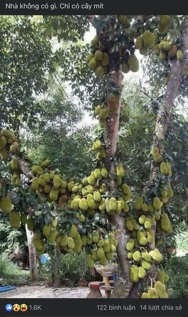 Sửng sốt trước cây mít cổ thụ cho nhiều quả bậc nhất Việt Nam, gia chủ nào trồng được chắc phải khóc thét vì lý do này - Ảnh 1.