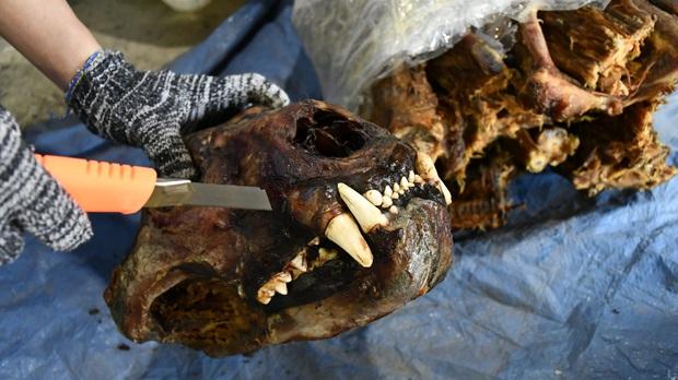 Đà Nẵng bắt container chứa hàng tấn sừng tê giác và xương động vật núp bóng gỗ Nam Phi - Ảnh 3.