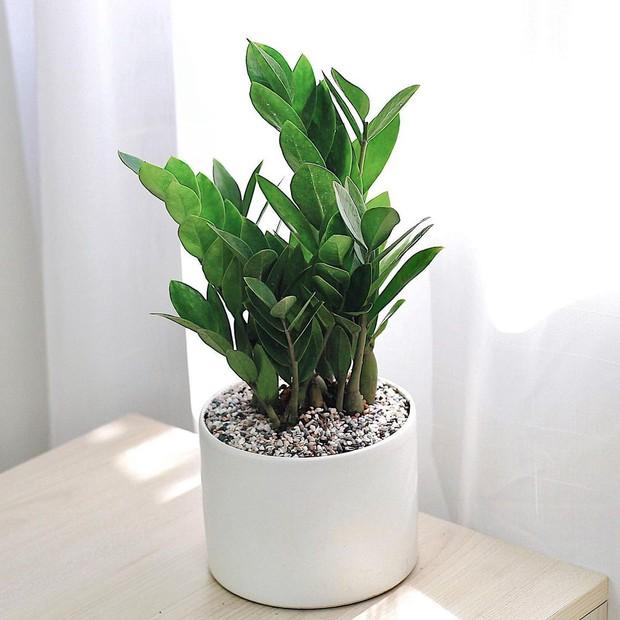 5 loại cây cảnh giúp giảm stress và thu hút vận khí tốt, cây nào cũng đẹp mắt hợp decor nhà - Ảnh 2.