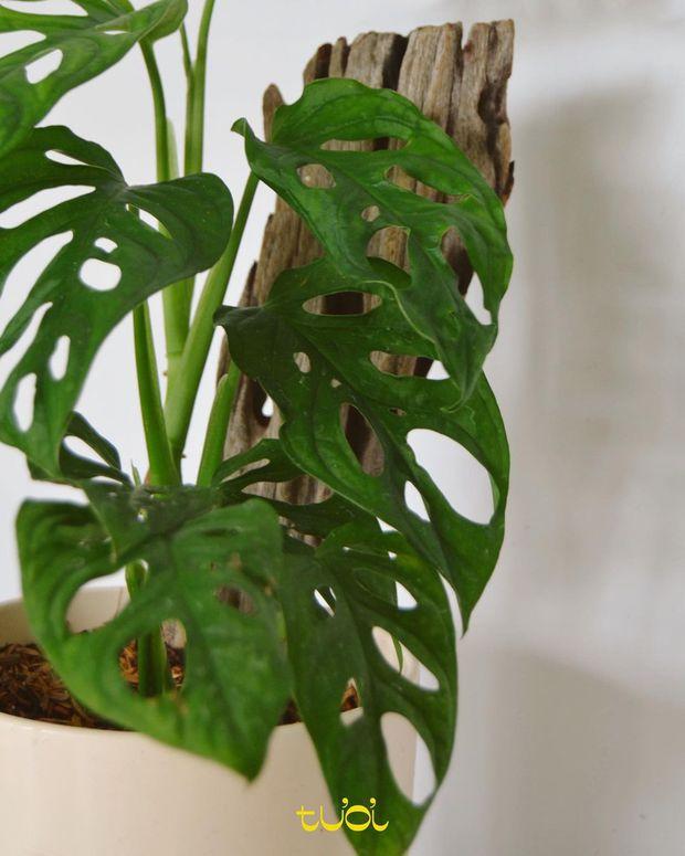 5 loại cây cảnh giúp giảm stress và thu hút vận khí tốt, cây nào cũng đẹp mắt hợp decor nhà - Ảnh 11.
