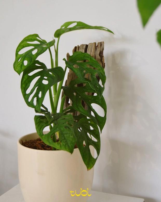 5 loại cây cảnh giúp giảm stress và thu hút vận khí tốt, cây nào cũng đẹp mắt hợp decor nhà - Ảnh 10.