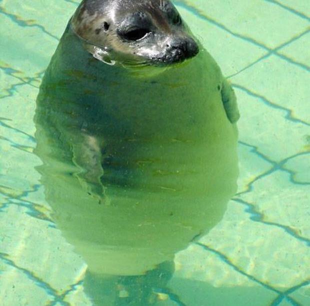 20 chú động vật béo núc ních, tròn vo tới nỗi ai nhìn cũng phải động lòng - Ảnh 11.