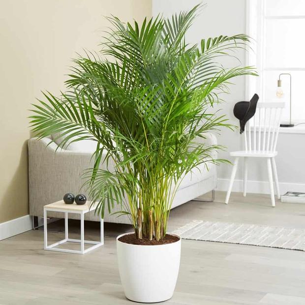 6 loại cây nên trưng trong phòng ngủ: Mang đến giấc ngủ ngon, thanh lọc không khí hóa giải stress - Ảnh 7.