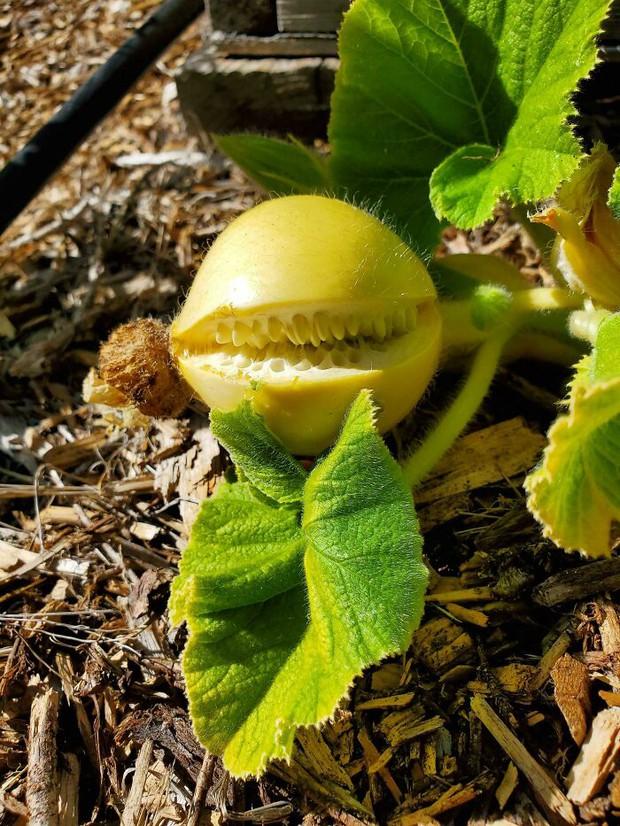 Té ngửa trước những màn biến hình kỳ dị của các loại rau củ quả, xem xong mới thấy đừng nên đùa với mẹ thiên nhiên!  - Ảnh 12.