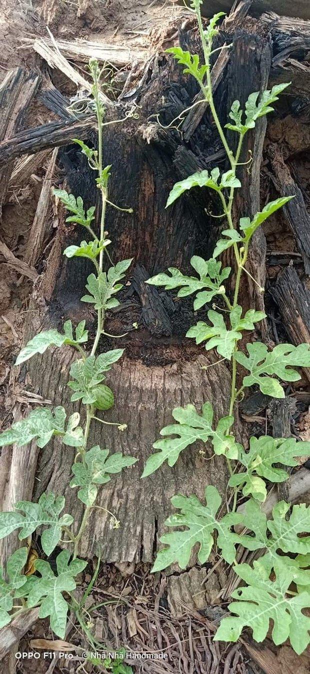 Phát hiện cây dưa hấu mọc hoang cho quả bé xíu, cô nàng chờ 23 ngày rồi mới hái quả, bổ ra thì ai cũng ngỡ ngàng - Ảnh 1.