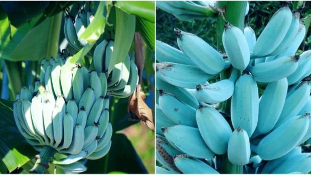 Giống chuối xanh biếc kì lạ tưởng chỉ là photoshop nào ngờ có thật 100%, lại còn được trồng ở rất gần Việt Nam - Ảnh 1.
