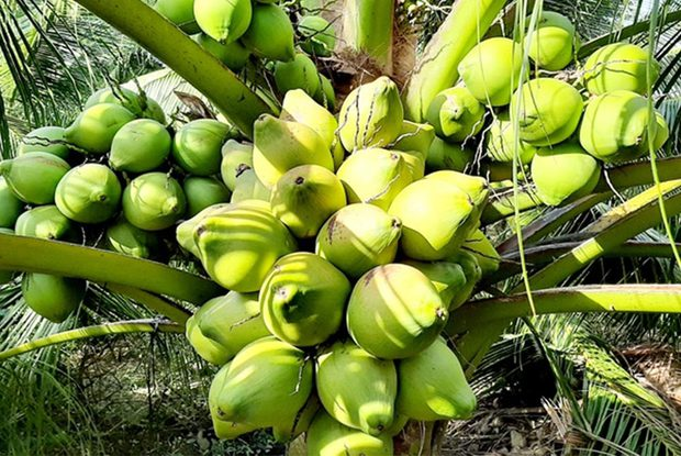 Việt Nam có 1 loại dừa mang tên rất dị, quả nhỏ bằng lòng bàn tay thôi mà cho đầy nước - Ảnh 3.