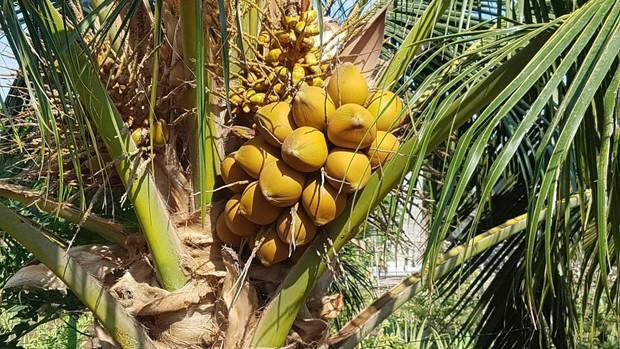 Việt Nam có 1 loại dừa mang tên rất dị, quả nhỏ bằng lòng bàn tay thôi mà cho đầy nước - Ảnh 4.