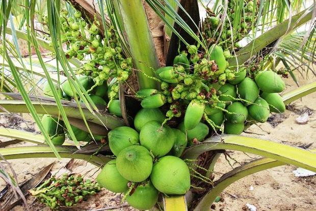 Việt Nam có 1 loại dừa mang tên rất dị, quả nhỏ bằng lòng bàn tay thôi mà cho đầy nước - Ảnh 5.
