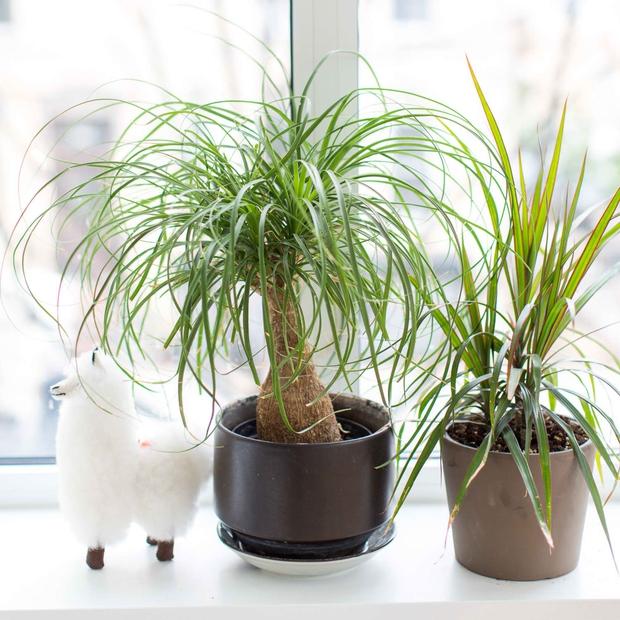 6 loại cây hoan hỉ hợp trồng trong nhà, không cần ánh sáng trời lại mang tài lộc cho gia chủ - Ảnh 7.