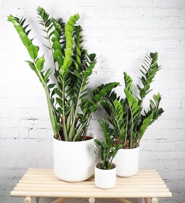6 loại cây hoan hỉ hợp trồng trong nhà, không cần ánh sáng trời lại mang tài lộc cho gia chủ - Ảnh 11.