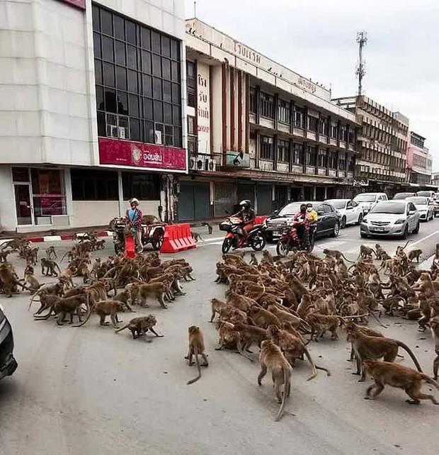 Thái Lan: Tài xế sốc trước hàng trăm con khỉ ẩu đả giữa đường  - Ảnh 1.