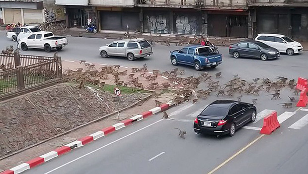 Thái Lan: Tài xế sốc trước hàng trăm con khỉ ẩu đả giữa đường  - Ảnh 2.