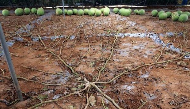 Cây dưa hấu siêu mắn chưa từng thấy trên thế giới: Đẻ sòn sòn 131 quả/vụ, lá chẳng thấy đâu mà trái sum sê - Ảnh 1.